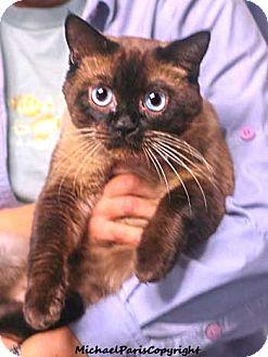 Tonkinese Cat for adoption in Davis, California - Christopher