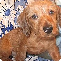 Adopt A Pet :: Iko - San Jose, CA