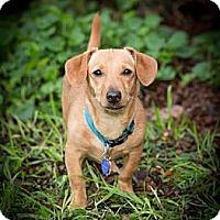 Adopt A Pet :: Boba - San Jose, CA