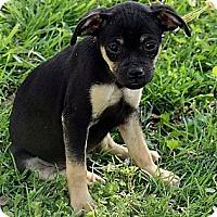 Adopt A Pet :: Renny - Staunton, VA
