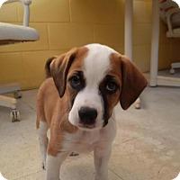 Adopt A Pet :: Noel - Burlington, NJ