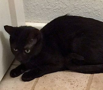 Domestic Shorthair Cat for adoption in Asheville, North Carolina - Midnight