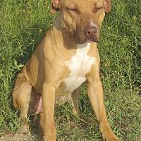 Boxer/Pit Bull Terrier Mix Dog for adoption in Lancaster, California - King