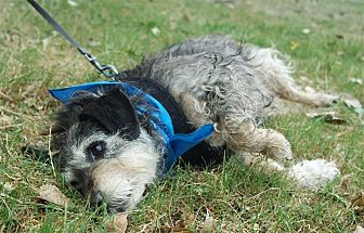 Schnauzer (Standard)/Jack Russell Terrier Mix Dog for adoption in Sacramento, California - Rokkie looking for love