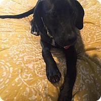 Adopt A Pet :: Gabe - Westwood, NJ