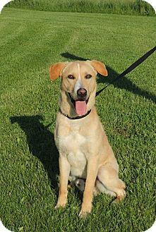 Labrador Retriever/Australian Cattle Dog Mix Dog for adoption in Sullivan, Missouri - Milo