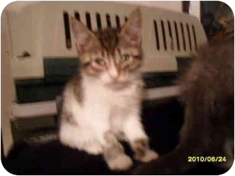 Domestic Shorthair Kitten for adoption in Frenchtown, New Jersey - Oliver