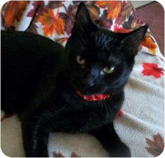 American Shorthair Kitten for adoption in Spencer, New York - Bounder