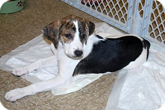 Foxhound/Beagle Mix Puppy for adoption in Minneola, Florida - Lily