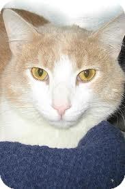 Domestic Shorthair Cat for adoption in Lancaster, Massachusetts - Mickey