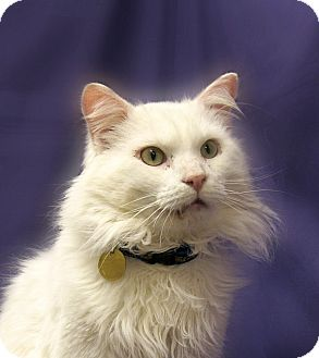 Maine Coon Cat for adoption in Richmond, Virginia - Pete