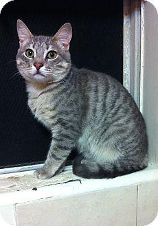 Domestic Shorthair Cat for adoption in Long Beach, California - Casey