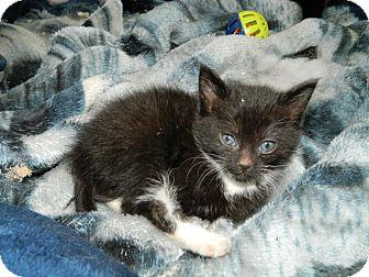 American Shorthair Kitten for adoption in Nanuet, New York - baby