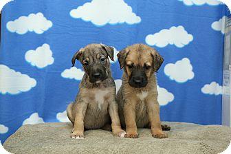 Labrador Retriever/Brussels Griffon Mix Puppy for adoption in Troy, Michigan - Raelene