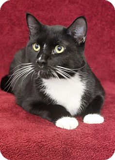 Domestic Shorthair Cat for adoption in Wichita, Kansas - Boots