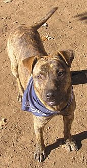 American Staffordshire Terrier/Australian Cattle Dog Mix Dog for adoption in Cross Roads, Texas - Newt