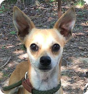 Chihuahua Mix Dog for adoption in Washington, D.C. - Linnie