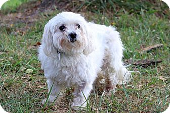 Maltese Mix Dog for adoption in Waldorf, Maryland - Bentley