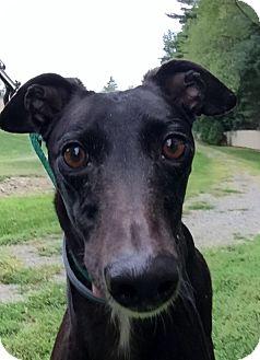 Greyhound Dog for adoption in Swanzey, New Hampshire - Roxy