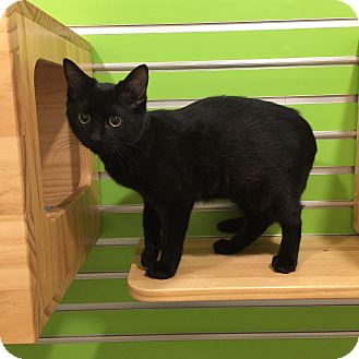 Domestic Shorthair Cat for adoption in Peace Dale, Rhode Island - Sabrina