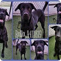 Adopt A Pet :: Rollo - Austin, TX