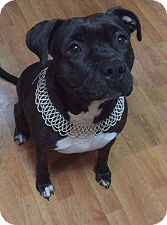Pit Bull Terrier Mix Dog for adoption in Wichita, Kansas - Aashka
