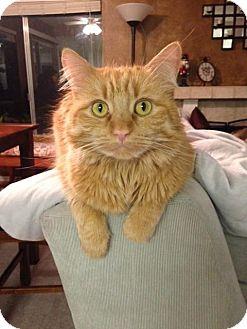 Domestic Longhair Cat for adoption in Burbank, California - Bella