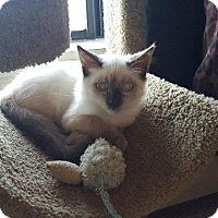 Adopt A Pet :: Ziti - Chaska, MN