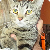 American Shorthair Cat for adoption in Reeds Spring, Missouri - Eva