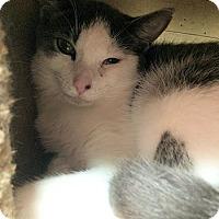 Adopt A Pet :: Bianca - Lunenburg, MA