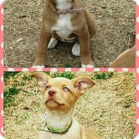 Adopt A Pet :: Leia - Broken Arrow, OK