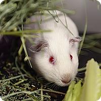 Guinea Pig for adoption in Kanab, Utah - Apple