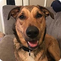Adopt A Pet :: Bridgett - Austin, TX