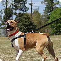 Adopt A Pet :: Lazarus - Pinehurst, NC