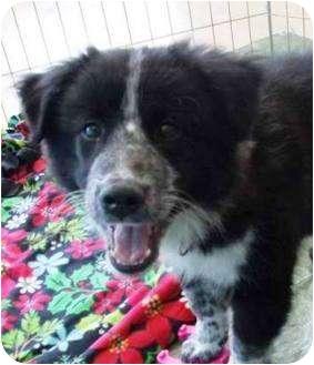 Border Collie Mix Puppy for adoption in Kalamazoo, Michigan - Thor