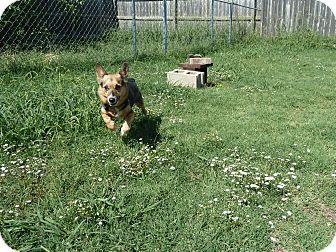 Corgi Dog for adoption in Inola, Oklahoma - Brandy