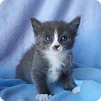 Adopt A Pet :: Belushi - Phoenix, AZ