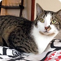 Domestic Shorthair Kitten for adoption in Columbus, Ohio - Sequoia