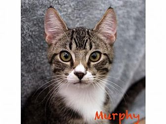 Domestic Shorthair Cat for adoption in Walnut Creek, California - Murphy