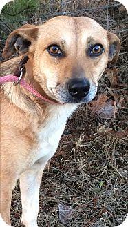 Labrador Retriever Mix Dog for adoption in Westwood, New Jersey - Gabee