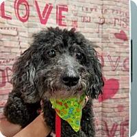 Adopt A Pet :: Bobbie - Plainfield, IL