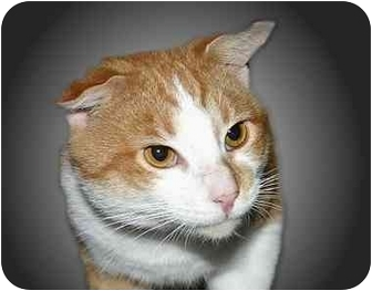 Domestic Shorthair Cat for adoption in Montgomery, Illinois - Butch