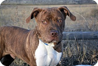 American Pit Bull Terrier Mix Dog for adoption in Cheyenne, Wyoming - Buzz