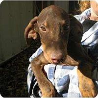 Adopt A Pet :: Bandit GORGEOUS! - Antioch, IL