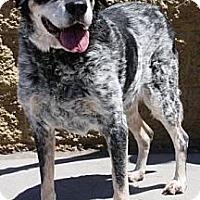 Adopt A Pet :: Barkley - Gilbert, AZ