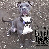 American Pit Bull Terrier/American Staffordshire Terrier Mix Dog for adoption in Detroit, Michigan - Frank Sinatra