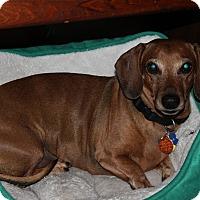 Adopt A Pet :: Oscar Meyer - Louisville, CO