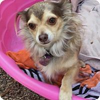 Adopt A Pet :: Jules - North Hollywood, CA