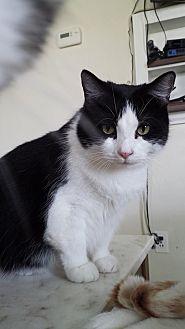 Domestic Shorthair Cat for adoption in Clarkson, Kentucky - Emilyanne