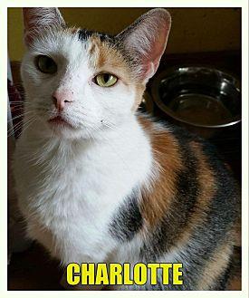 Calico Cat for adoption in MADISON, Ohio - Charlotte
